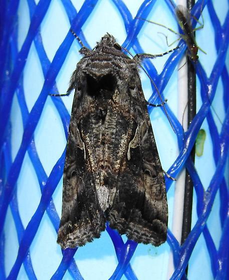 Autographa californica - Alfalfa Looper Moth - Hodges#8914 - Autographa californica