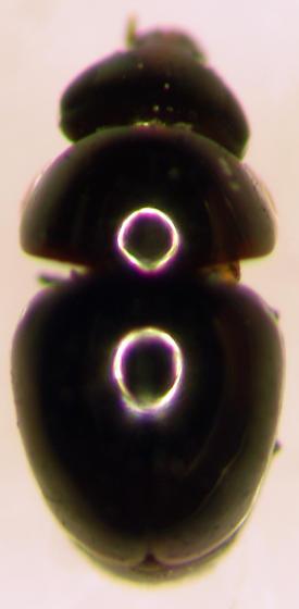 Sap-feeding Beetle - Cybocephalus