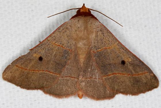 Panopoda rufimargo - Red-lined Panopoda - Panopoda rufimargo