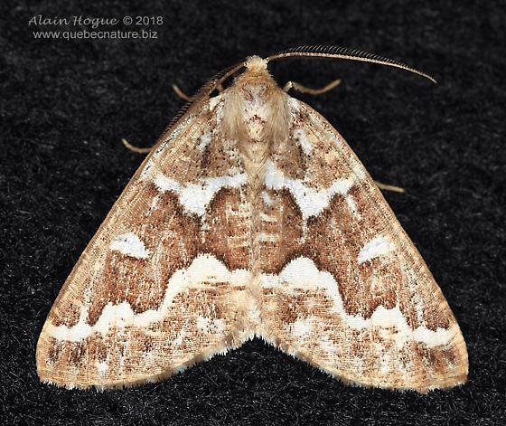 Moth - Caripeta divisata - male