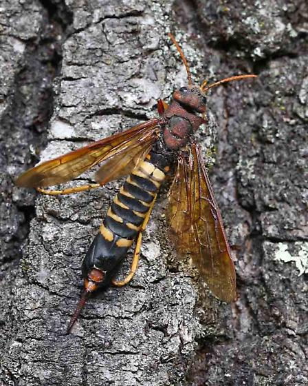 horntail - what species? - Tremex columba