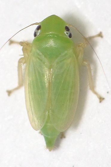 Unid. Leafhopper - Neocoelidia tumidifrons