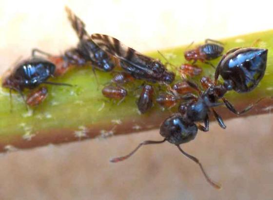Ants and aphids - Crematogaster atkinsoni