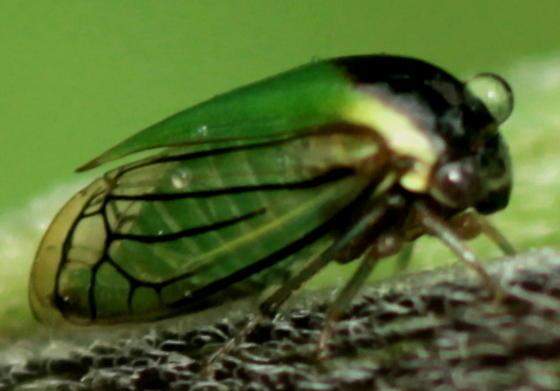 Black-veined Treehopper - Acutalis tartarea