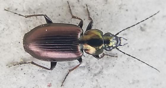 Purple and green shiny ground beetle - Agonum muelleri