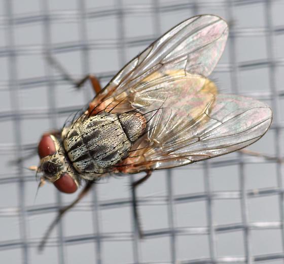 false stable fly - Muscina stabulans - female