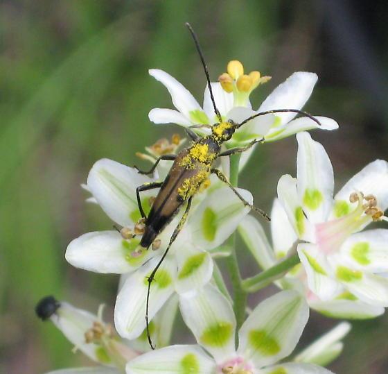 Beetle on Death Camas - Etorofus propinquus