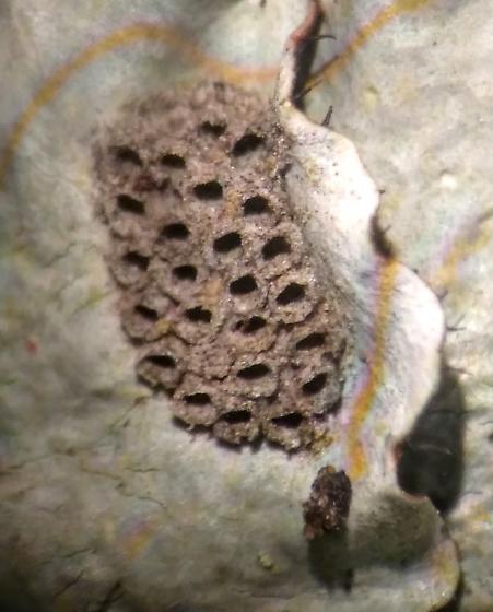 egg case on lichen