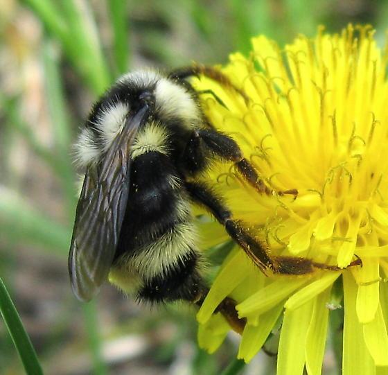 Bombus 01a - Bombus bifarius - female