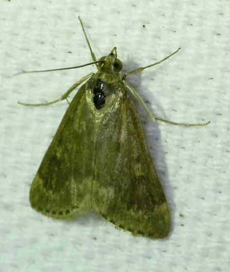 Unk moth - Achyra rantalis