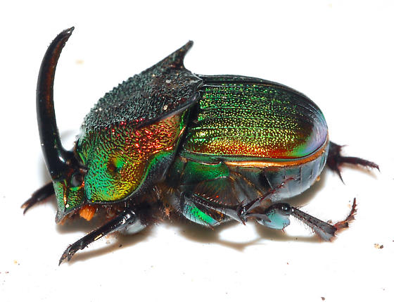 Major Male - Phanaeus vindex - male