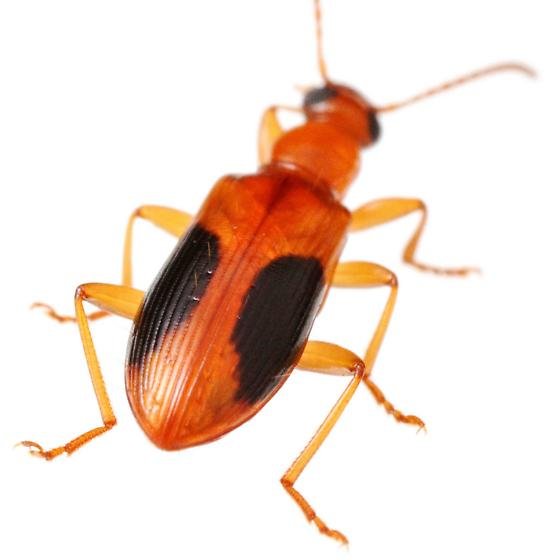 Statira nigromaculata? - Statira nigromaculata