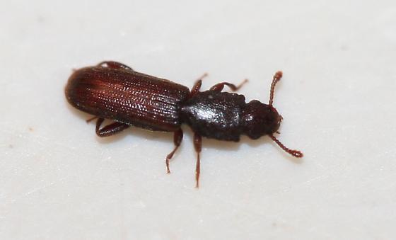 Silvanidae? - Nausibius repandus