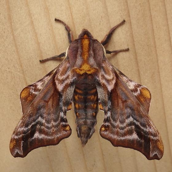 Sphingidae: Paonias myops - Paonias myops