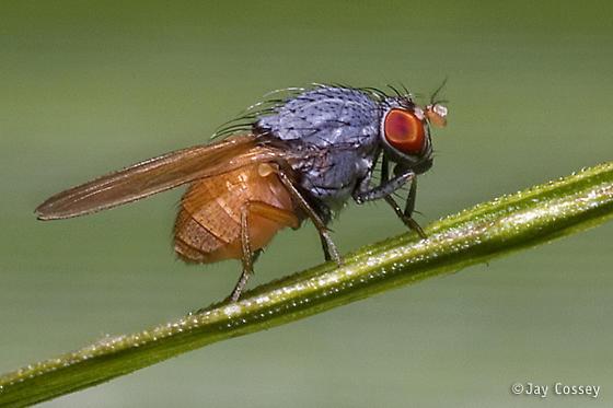 Handsome Little Fly - Minettia lupulina