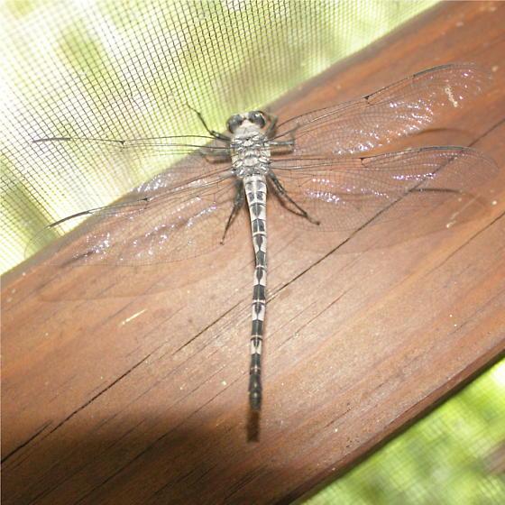 Odonata 10 - Tachopteryx thoreyi