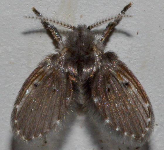 moth073014a - Clogmia