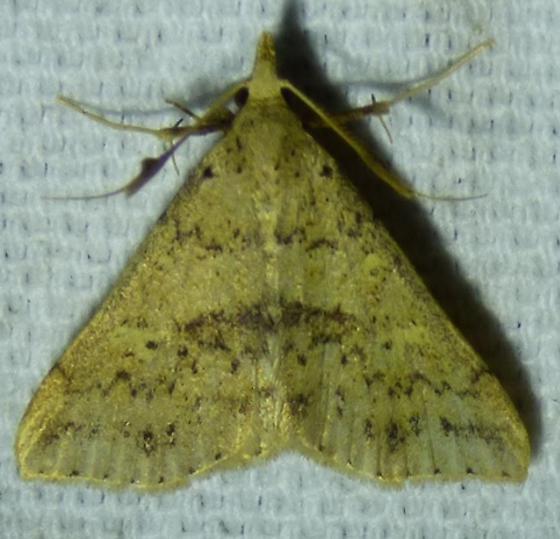 unknown moth - Renia salusalis - male