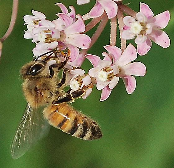 Honeybee snared by milkweed - Apis mellifera