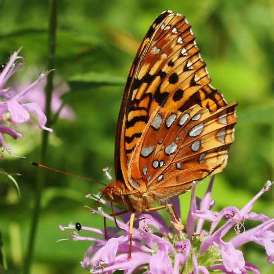 Fritillary - Speyeria cybele
