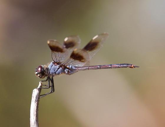 Four-spotted pennant? - Brachymesia gravida