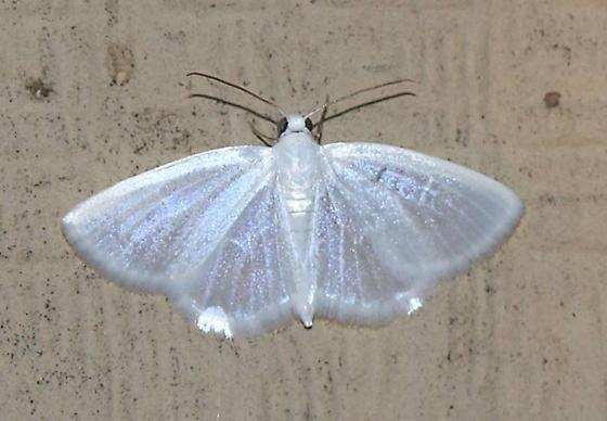Moth - P4217147 - Lomographa vestaliata