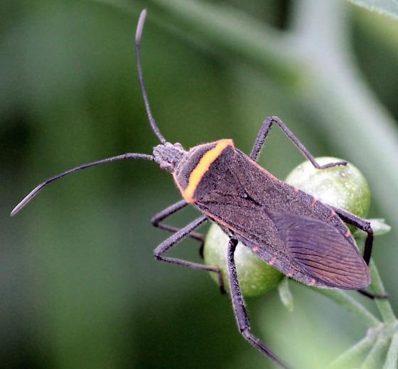 Solanum Sucker - Phthiacnemia picta