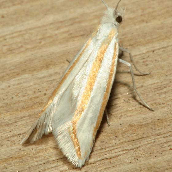 Moth - Ypsolopha cockerella