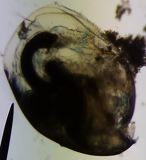 Eurycercus