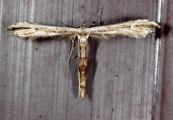 Oidaematophorus eupatorii - Eupatorium Plume Moth ?? - Oidaematophorus eupatorii
