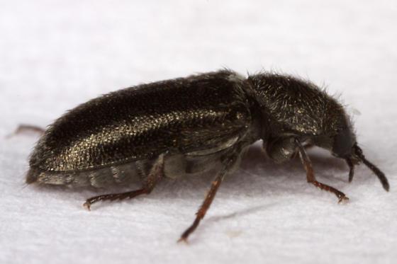 Unknown Beetle - Listropsis