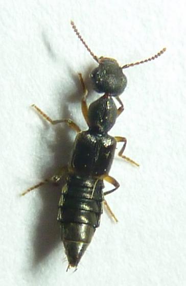 Staph- Rugilus orbiculatus? - Rugilus orbiculatus