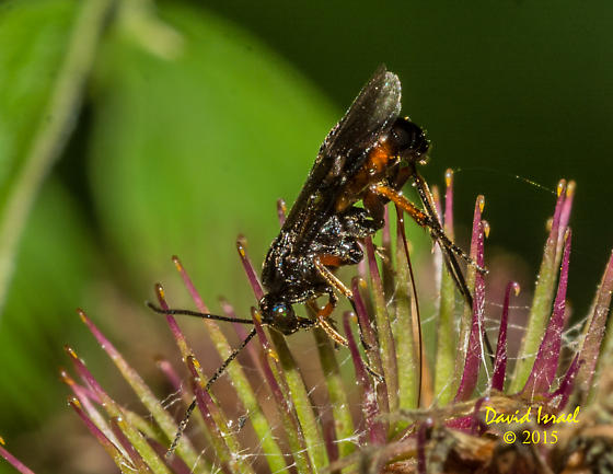 Wasp oviposting in Burdock (Arctium lappa) flower. - Agathis malvacearum - female