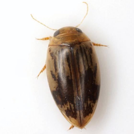 Laccophilus quadrilineatus (Horn) - Laccophilus quadrilineatus - male