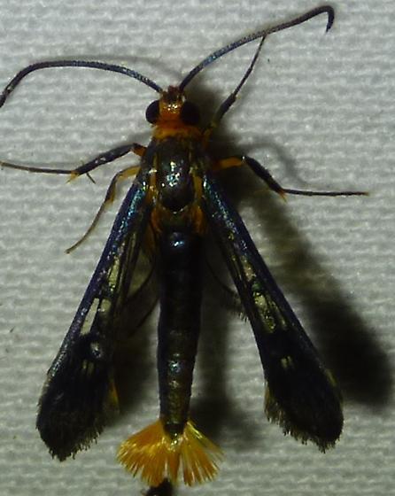 Synanthedon acerni – Maple Callus Borer Moth - Synanthedon acerni