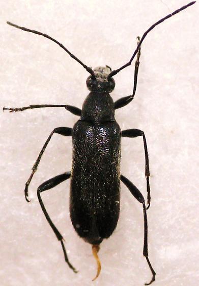 False Long-horn? - Grammoptera subargentata