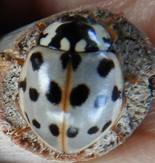 15 spotted lady beetle - Anatis labiculata