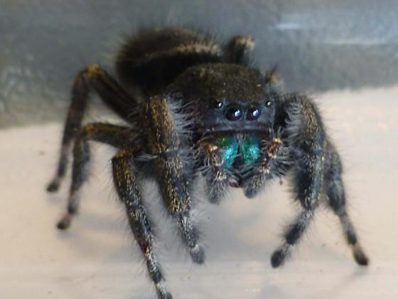 Mark's Spider from Garage - Reno, NV 6/22/13 - Phidippus audax
