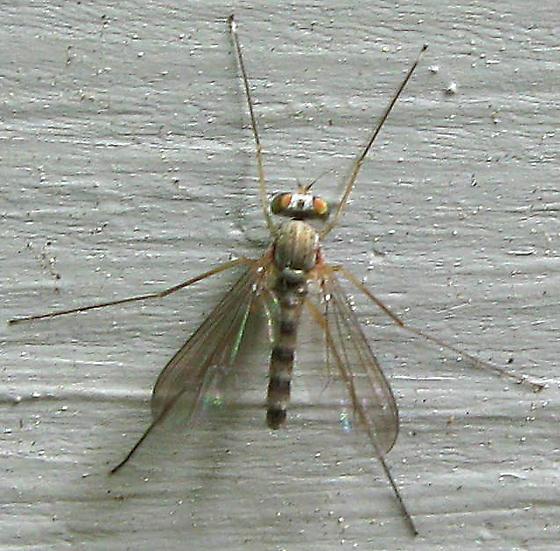 Fly - Sciapus pallens - male