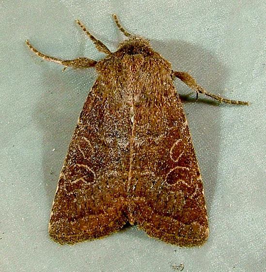 Protorthodes rufula 10557 - Rufous Quaker Moth  - Protorthodes rufula