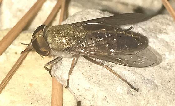 Tabanidae - Tabanus zythicolor