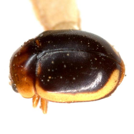 Hyperaspidius marginatus (Gaines) - Hyperaspidius marginatus - male