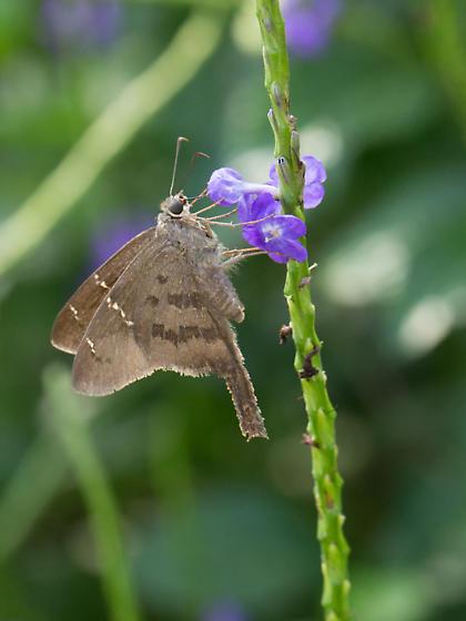 Unknow Butterfly - Urbanus procne