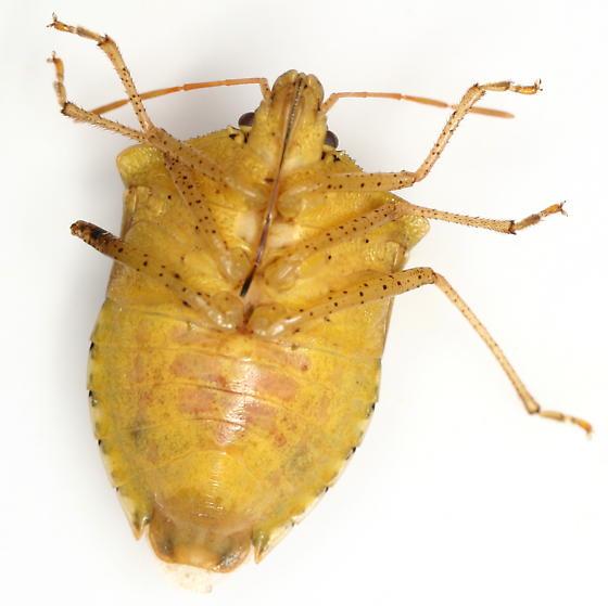 Euschistus servus (Say) - Euschistus servus