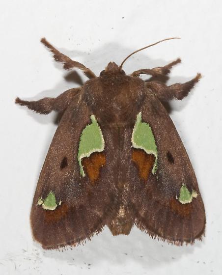 Spiny Oak Slug Moth - Euclea delphinii - female