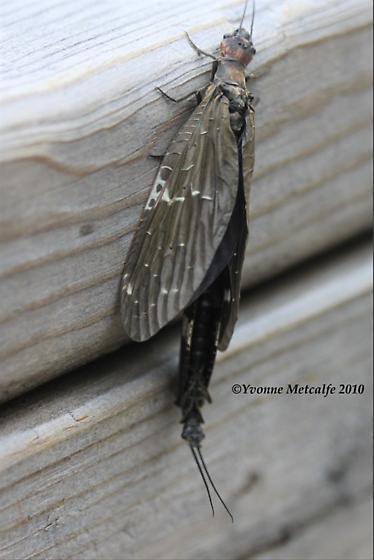 Dark Fishflies Mating? - Nigronia serricornis - male - female