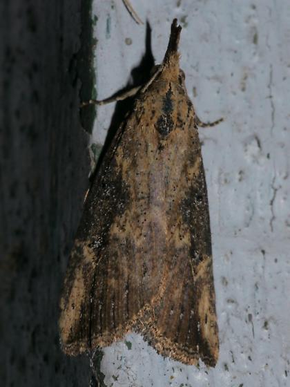 Hypena humuli #8461 Hop Vine Moth? - Hypena humuli