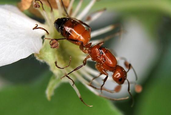 Ant - Camponotus snellingi - female