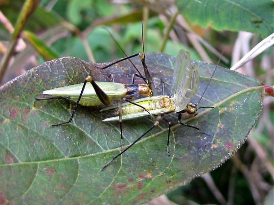 Black-horned Tree Cricket? - Oecanthus - male - female