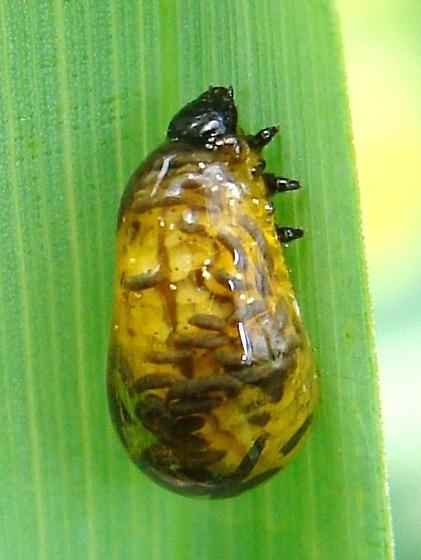 Cereal Leaf Beetle larva - Oulema melanopus